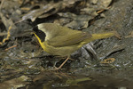 Male Common Yellowthroat (Geothlypis trichas) on spring migration in mid-May.