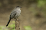 Gray Catbird (Dumetella carolinensis) in mid-May.