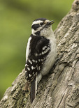 Female Downy Woodpecker (Picoides pubescens) in mid-May.