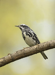 Male Black-and-white Warbler (Mniotilta varia) in late April on spring migration.