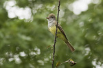 Great Crested Flycatcher (Myiarchus crinitus) calling in late May.