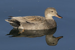 Male Gadwall (Mareca strepera) and reflection on a still morning in early June.