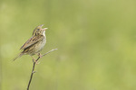 Male Henslow's Sparrow (Ammodramus henslowii) singing on territory in late May.