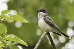 Adult female Eastern Kingbird (Tyrannus tyrannus) in Mulberry (Morus sp.) in early June.