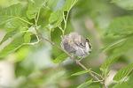 Cedar Waxwing (Bombycilla cedrorum) fledgling in early July.
