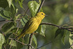 Male Yellow Warbler (Setophaga petechia) in mid-June.