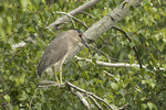 First-summer Black-crowned Night-Heron (Nycticorax nycticorax).