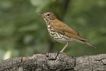 Wood Thrush (Hylocichla mustelina) carrying food for young in mid-June.
