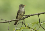 Singing Eastern Wood-Pewee (Contopus virens) in mid-June.
