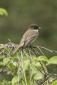 Eastern Phoebe (Sayornis phoebe) in mid-June.