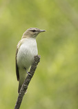 Red-eyed Vireo (Vireo olivaceus) in mid-June.
