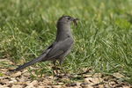 Gray Catbird (Dumetella carolinensis) collecting earthworms to feed to its young.