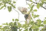 Great Crested Flycatcher (Myiarchus crinitus) in flight in mid-June.