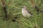Chipping Sparrow (Spizella passerina) singing in late June.