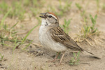 Chipping Sparrow (Spizella passerina) singing on the ground in late June.