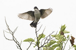 Adult male Eastern Kingbird (Tyrannus tyrannus) flutters his wings in late June.