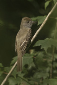 Great Crested Flycatcher (Myiarchus crinitus) in early July.