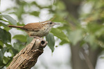 Carolina Wren (Thryothorus ludovicianus) in early July.