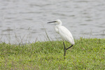 Little Egret in mid-March.