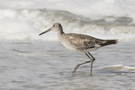 Willet (Tringa semipalmata) in mid-July.