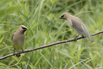Cedar Waxwings (Bombycilla cedrorum) perched together in mid-July.