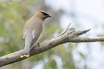 Adult Cedar Waxwing (Bombycilla cedrorum) in mid-July.