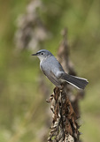 Adult male Blue-gray Gnatcatcher (Polioptila caerulea) in early July.
