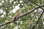 Black-billed Cuckoo (Coccyzus erythropthalmus) in mid-July.