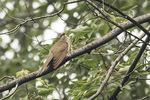 Black-billed Cuckoo (Coccyzus erythropthalmus) in mid-July.