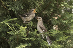 Adult and fledgling Northern Mockingbirds (Mimus polyglottos) in mid-July. Bronx, New York.
