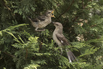 Adult and fledgling Northern Mockingbirds (Mimus polyglottos) in mid-July.