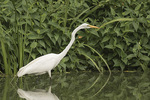 Adult Great Egret (Ardea alba) in late July.