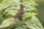 Song Sparrow (Melospiza melodia) in late July.