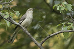 Adult female Northern Mockingbird (Mimus polyglottos) in late July.