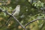 Adult female Northern Mockingbird (Mimus polyglottos) in late July.