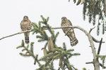 Juvenile Merlins (Falco columbarius) in late July.