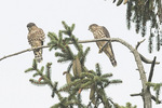 Juvenile Merlins (Falco columbarius) in late July.