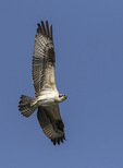Juvenile Osprey (Pandion haliaetus) in flight in early August.