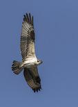 Juvenile Osprey (Pandion haliaetus) in flight in early August.