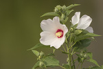 Swamp Rose-mallow (Hibiscus moscheutos) or Crimsoneyed Rosemallow in bloom in early August.