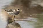 Adult Pectoral Sandpiper (Calidris melanotos) on fall migration in mid-August.