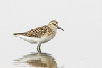 Juvenile Least Sandpiper (Calidris minutilla) in mid-August on fall migration.