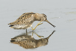 Juvenile Short-billed Dowitcher (Limnodromus griseus) scratching its neck in mid-August on fall migration.