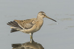 Juvenile Short-billed Dowitcher (Limnodromus griseus) in mid-August on fall migration.