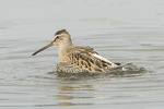 Juvenile Short-billed Dowitcher (Limnodromus griseus) bathing in mid-August on fall migration.