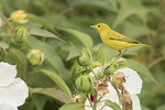 Immature Yellow Warbler (Setophaga petechia) foraging in a patch of Swamp Rosemallow (Hibiscus moscheutos) in mid-August on fall migration.