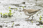 Juvenile Spotted Sandpiper (Actitis macularius) foraging on a mudflat in mid-August on fall migration.