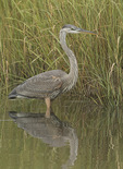 Immature Great Blue Heron (Ardea herodias) in saltmarsh in mid-August.