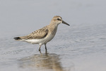 Juvenile Semipalmated Sandpiper (Calidris pusilla) in mid-August on fall migration.