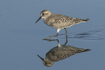 Juvenile Baird's Sandpiper (Calidris bairdii) in mid-August on fall migration.